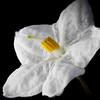 Potato Vine Flower