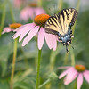Female Swallowtail in Field of Pink Coneflowers