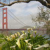 Golden Gate Bridge with Calla Lillies