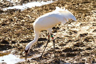 3 whooping crane 2018 IL -9346
