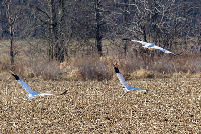 12 whooping crane 2018 IL -9377