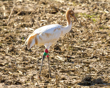 2 whooping crane 2018 IL -9354