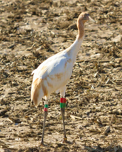 4 whooping crane 2018 IL -9343