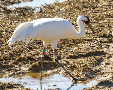 1 whooping crane 2018 IL -9360