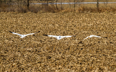 10  whooping crane 2018 IL -9369