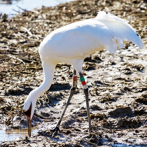 7 whooping crane 2018 IL -9348
