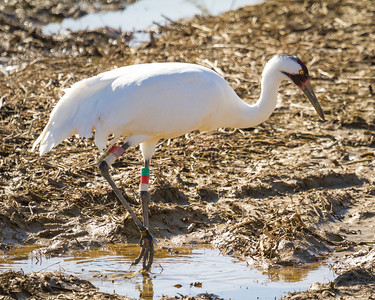 9 whooping crane 2018 IL -9359