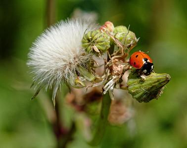 Wi. Ladybug