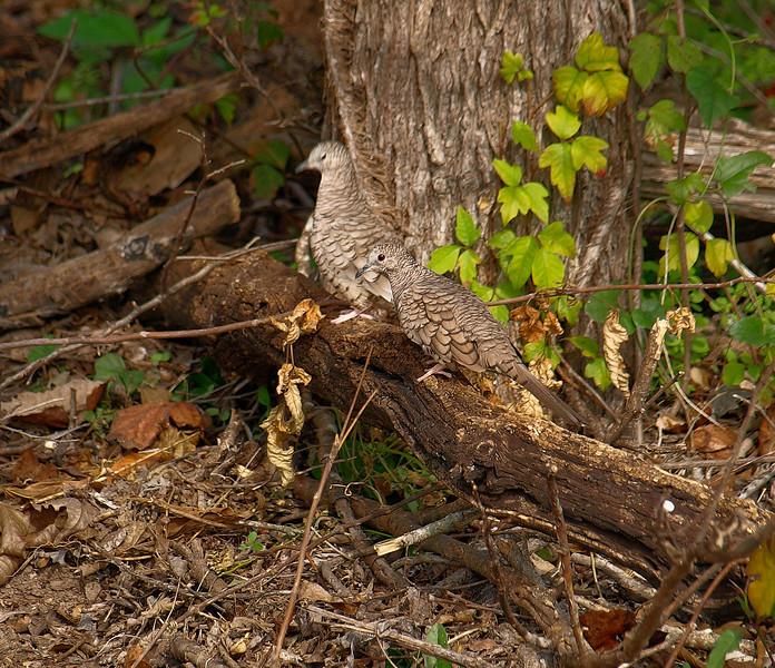 Wi. Wood Dove