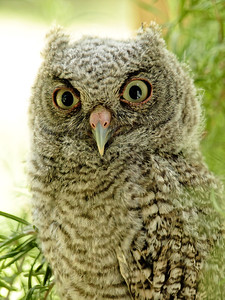 Wi. Baby Owl