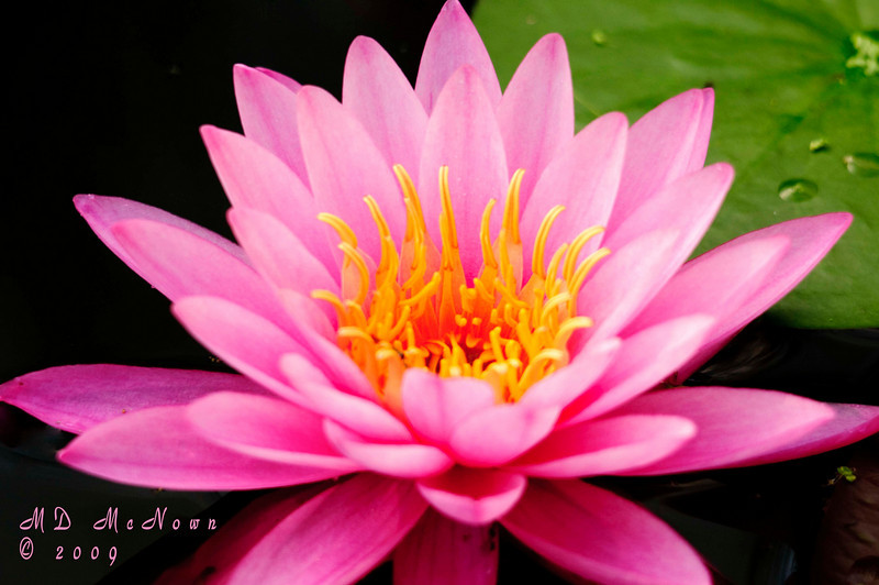 I love the rich colors in this pink water lilly.