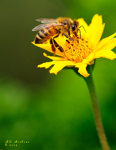 """I captured this image, which I titled Busy Bee,at The Wichita Botanica Gardens.  It won Honorable Mention in the 2009 """"Portrait of Botanica"""" competition.  See the other winning entries in the competition."""