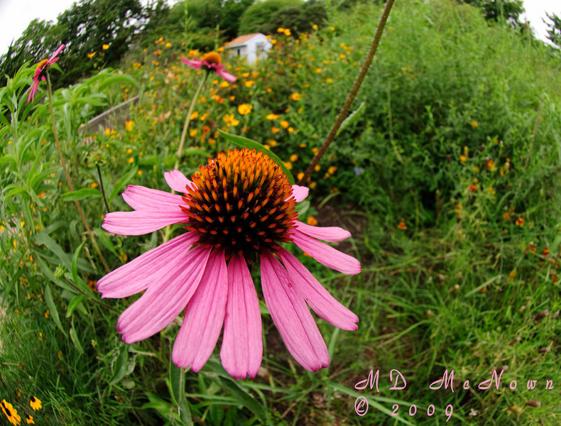 The image was captured with a Nikon 10.5mm fisheye lens on a Nikon D300.  The flower was less than two inches from the front element of the lens.  The fisheye gives a distortion to straight lines that is quite interesting.