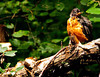 A robin that calls Botanica home.  It was perched on a rustic wood fence.
