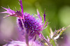 Purple Botanica thistle