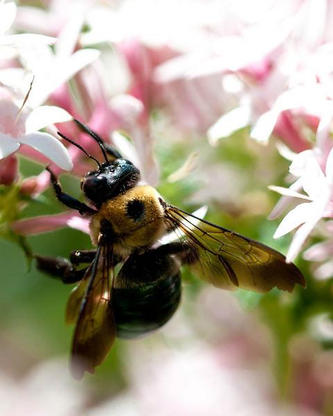 Black Bee on Pink Flower-1