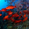 Schooling Red Fish