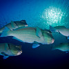 Bumphead Parrot Fish at Liberty Wreck