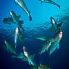 Bumphead Parrot Fish Schooling