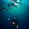 Bumphead Parrot Fish with Diver