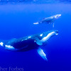 Humpback Whale and Calf, Vava'u Tonga