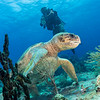 Ancient hawksbill turtle with Tony, Cozumel, MX