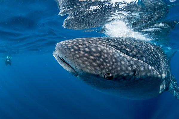 Whale Shark with John, Isla Mujeres, MX