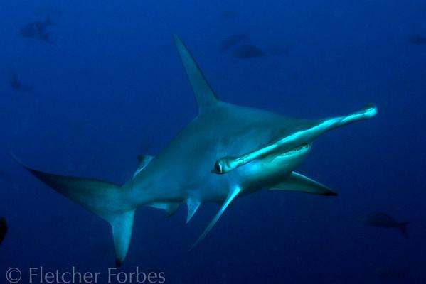 Scalloped Hammerhead Shark, Galapagos