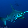 Scalloped Hammerhead Shark, Galapagos