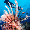 Lionfish and guide, Fiji