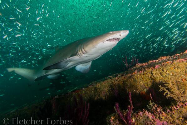SandTiger Shark, Wreck of Caribe Sea, North Carolina
