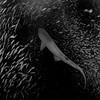 SandTiger Shark, North Carolina