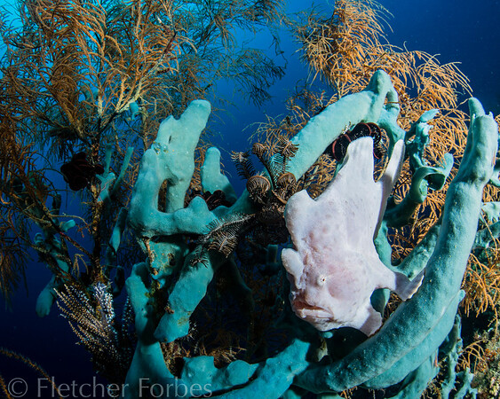 Frogfish, Sogod Bay Philippines