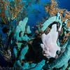 Frogfish, Sogod Bay Philippines