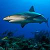 Caribbean Reef Shark, Bahamas