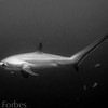 Thresher Shark, Malapascua Philippines