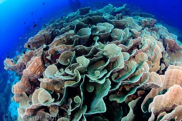 Cabbage Coral, Papua New Guinea