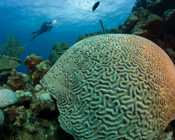 Brain Coral with Stephen Frink, Bonaire