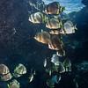 Spadefish, Sipadan Malaysia