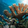Elkhorn Coral, Florida Keys