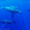 Humpback Whales with Tony Wu, Vava'u Tonga