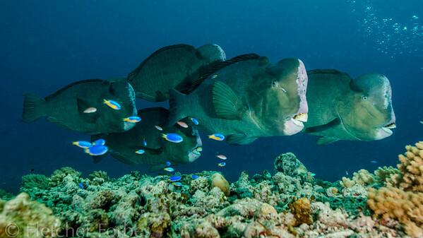Bumphead Parrotfish, Sipadan Malaysia