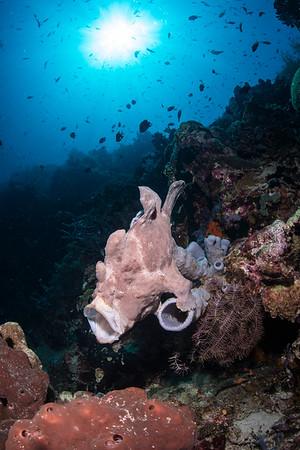 Frogfish, Menjangan Island Indonesia