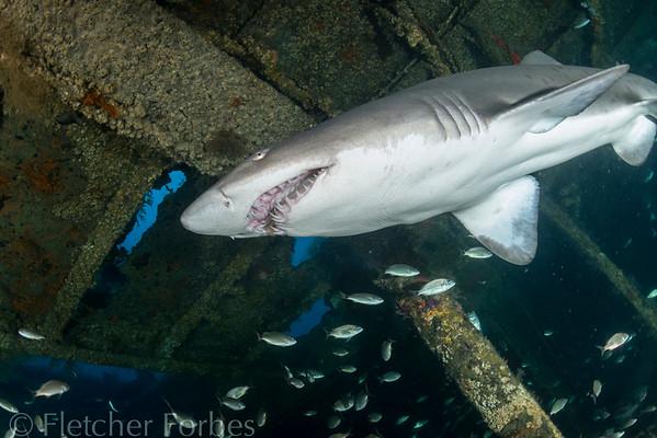 Sand Tiger Shark, North Carolina