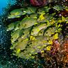 Sweetlips and Glassfish, Raja Ampat Indonesia