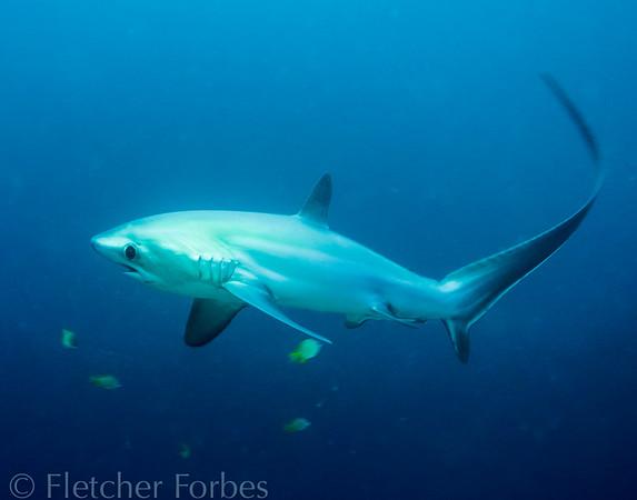 Thresher Shark, Malapascua Philippines