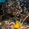 Scorpionfish and glassfish, Indonesia