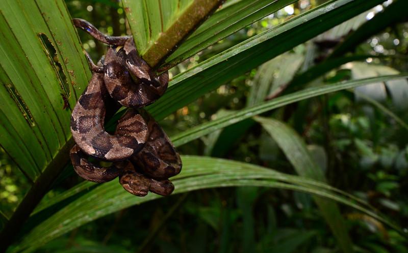 Annulated Tree Boa (<i>Corallus annulatus</i>) Cano Palma Biological Station, Costa Rica