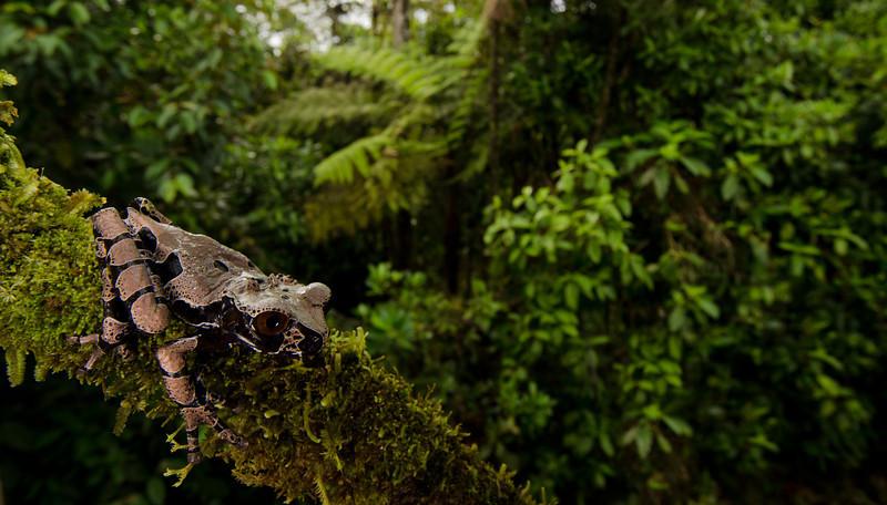 Crowned Treefrog, <i>Anotheca spinosa</i>