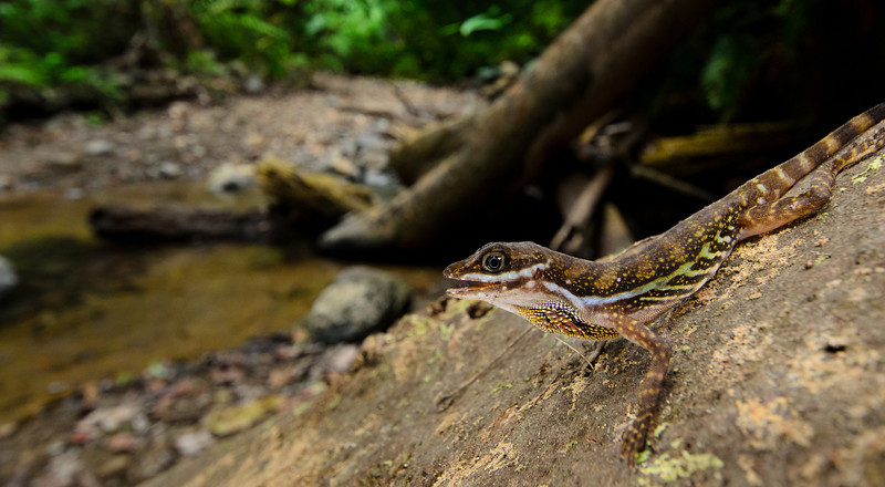 <i>Norops aquaticus</i> is a very colorful stream inhabitant of southwestern Costa Rica.